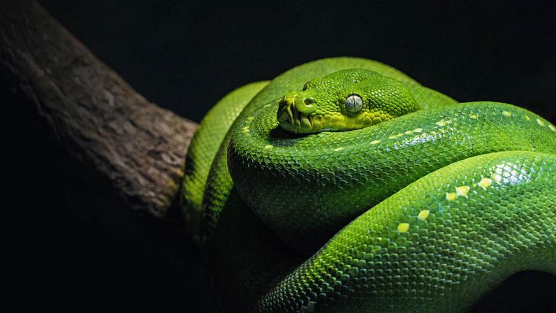 A green tree python