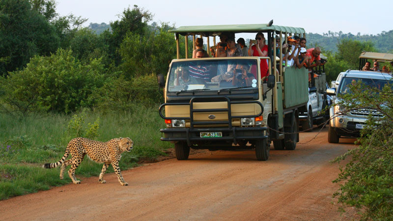 Game Drive in Pilanesberg with Mankwe Gametrackers